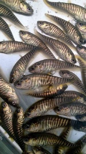 Chital Fish Seeds