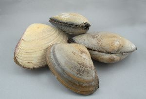 Fresh Surf Clam
