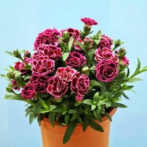 Carnation Pot Plants