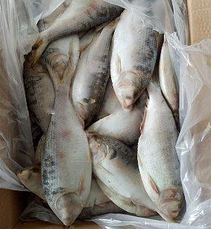 Frozen Hilsa  Sardine Fish