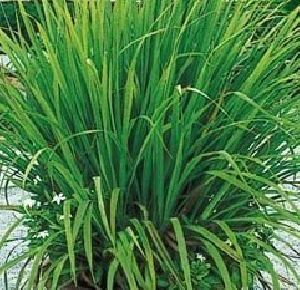 Lemongrass Slips
