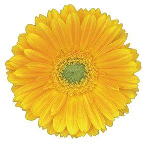 Dana Ellen Gerbera Flower