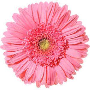 Esmara Gerbera Flower