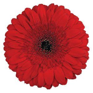 Stanza Gerbera Flower