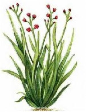 Cymbopogon martinii