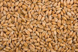 Oat Seeds