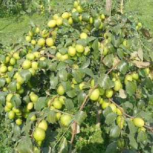 Thai Apple Ber Plant