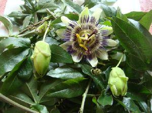 Passiflora Incarnata Tea