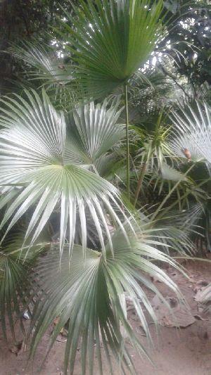 Desi Palm Plant