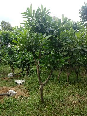 Pulemary Alba Plant