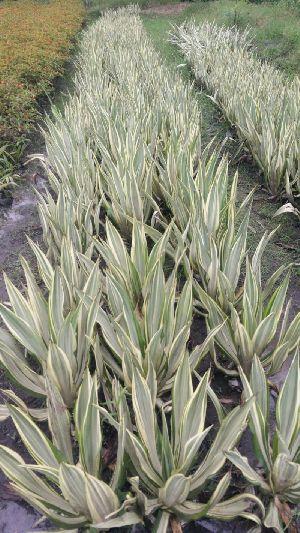 Rabish Palm Plant