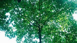 Cadamba Tree