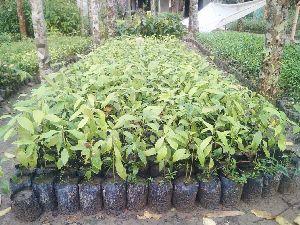 Cassia Fragrant (Tezpata)