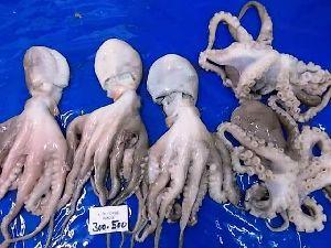 CF SA 16 - Frozen Octopus