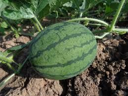 Hybrid Watermelon Seeds