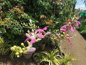 Chorisia Speciosa Plant
