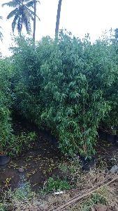 Conocarpus Plant