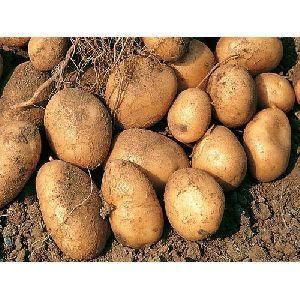 Brown Raw Potato