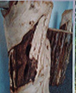 Agarwood 06