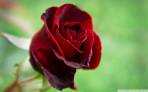 Hot Red Rose
