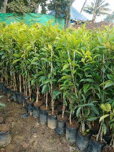 Chikku Plant