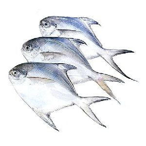 1 Kg   Hybro Fresh Deli Medium Pomfret Fish
