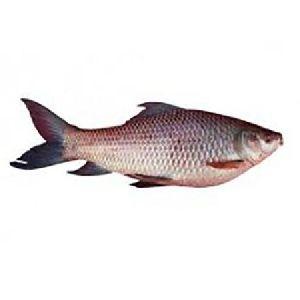 1 Kg  Machchhi Paani Rohu Fish