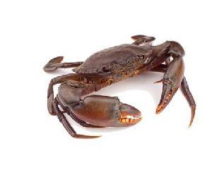 Ennia Large Dried Crab