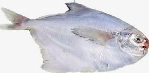 Fishwala Best Quality Fresh Pomfret Fish