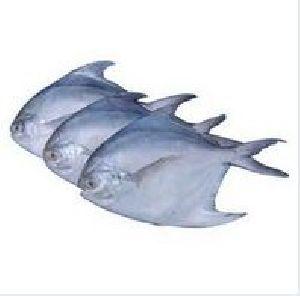 Fishwala Good Quality Frozen Pomfret Fish
