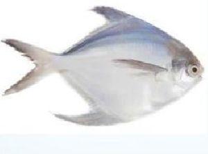 Fishwala Unique Fresh Pomfret Fish