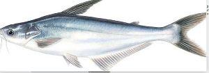 Getfish Good Quality Frozen Basa Fish