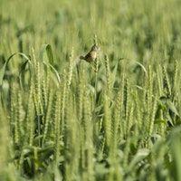 Ragi Seeds