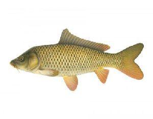 Carp Fish Seeds