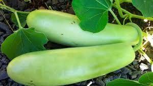 Organic Bottle Gourd