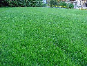 American Blue Lawn Grass