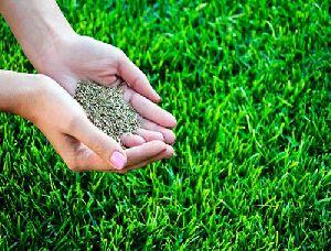 Lawn Grass Seed