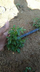 Herbal Stevia Plants