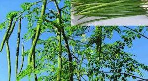 Natural Moringa Drumstick Plant