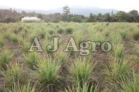 Organic Lemon Grass Plant