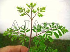 Stevia Baby Leaves