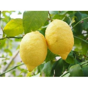 Natural Yellow Lemon