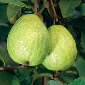 Organic Sweet Guava