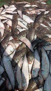 Sole Fish