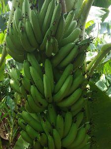 G9 Green Banana