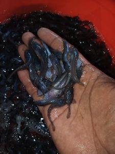 Catfish Seed