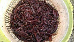 Desi Singi Fish Seed