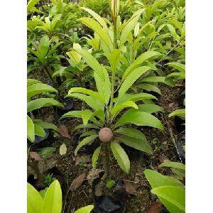 Kalipatti Chiku Plant