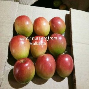 Sundari Apple Ber Plant