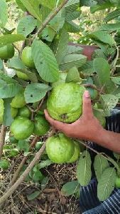 Thai Green Guava Plant